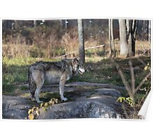 A lone timber wolf in the woods Poster