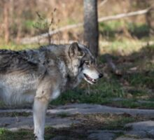 A lone timber wolf in the woods Sticker