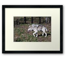 A lone timber wolf in the woods Framed Print