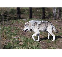 A lone timber wolf in the woods Photographic Print