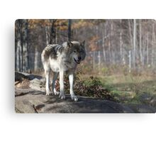 Timber wolf in the woods Metal Print