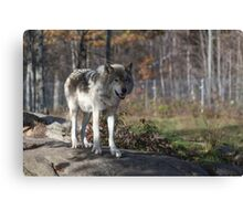 Timber wolf in the woods Canvas Print
