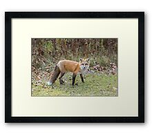 A lone Red Fox Framed Print