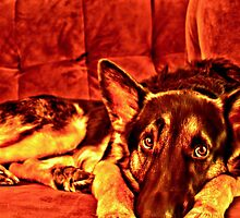 German Shepherd- HDR by DontBlink182