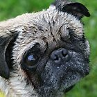 Caution - Wet Pug by v-something