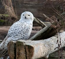 Snowy Owl by titus