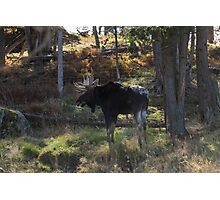 Large Moose in the woods Photographic Print