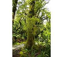 Forest walk South Island New Zealand Photographic Print