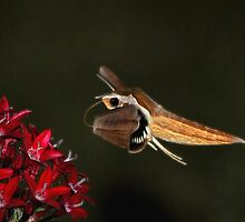 Tersa Shinx Moth  by Kathy Baccari
