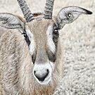 Young Gemsbok (Oryx Gazella) by Dyle Warren