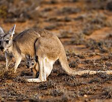 Mother Kangaroo with Joey in Pouch by Paul Mayall