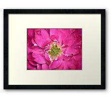 Rose Petals & Stamens ~ Close-up of a Pink Flower ~ Floral Photography Framed Print