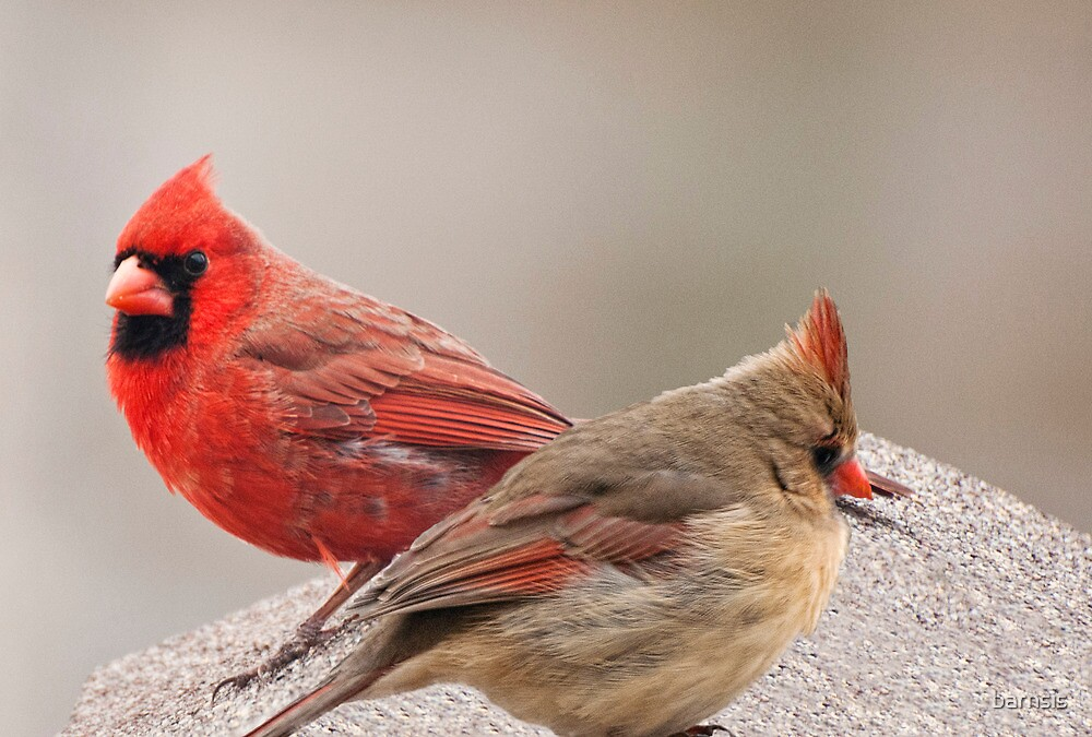 Quot Female And Male Cardinal Quot By Barnsis Redbubble