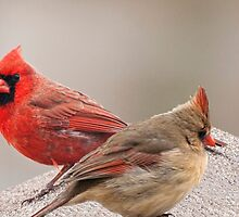 Female and Male Cardinal by barnsis