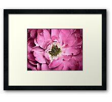 Close-up of a Magenta Flower ~ Rose Petals & Stamens ~ Macro Photography Framed Print
