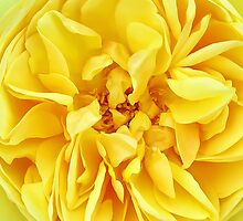 Macro Flower Photography ~ Sunny Yellow Rose with Petals & Stamens by Chantal PhotoPix