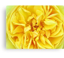 Macro Flower Photography ~ Sunny Yellow Rose with Petals & Stamens Canvas Print