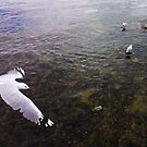 Sea gulls at Mt Martha by Suziemgw