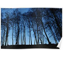 Birches from below Poster