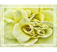 Dreamy Light Yellow Rose - Stamens & Petals Close-up ~ Framed Photography Photographic Print