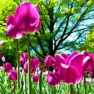 Luminous Magenta Tulips in a Flower Bed &amp; Sunny Green Trees under Blue Skies by Chantal PhotoPix
