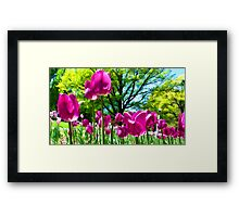 Luminous Magenta Tulips in a Flower Bed & Sunny Green Trees under Blue Skies Framed Print