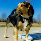 Sunny Day Beagle by Daniel Bowers