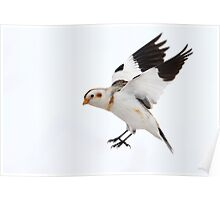 Airborne / Snow Bunting  Poster