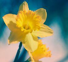 Daffodils by Lynn Starner