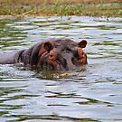 Peek-a-Hippo by Stephen Monro