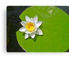 Lily pad with white lily Canvas Print
