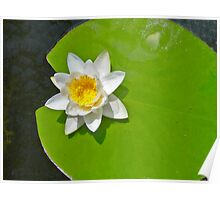 Lily pad with white lily Poster