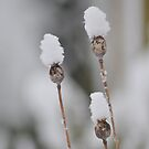 Snow Poppies by AlanPee