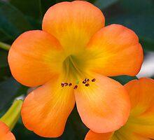 orange beauty by Iris Mackenzie