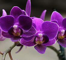 Orchid Delight by Rosanne Jordan