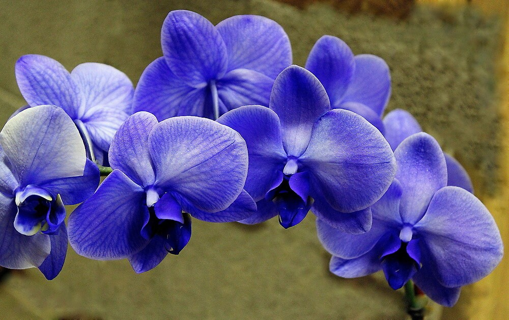 My Blue Orchids by Rosanne Jordan
