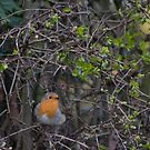 Robin by Pete  Burton