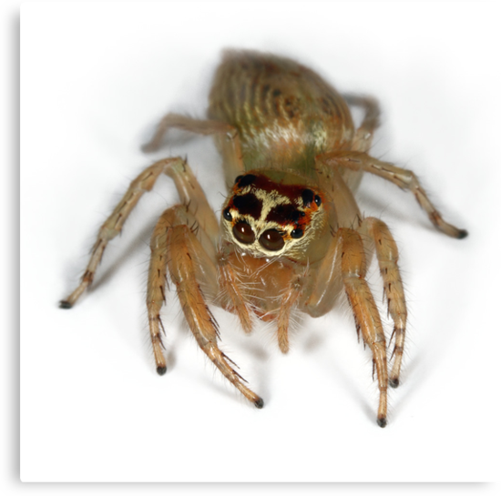 Jumping spider by jimmy hoffman