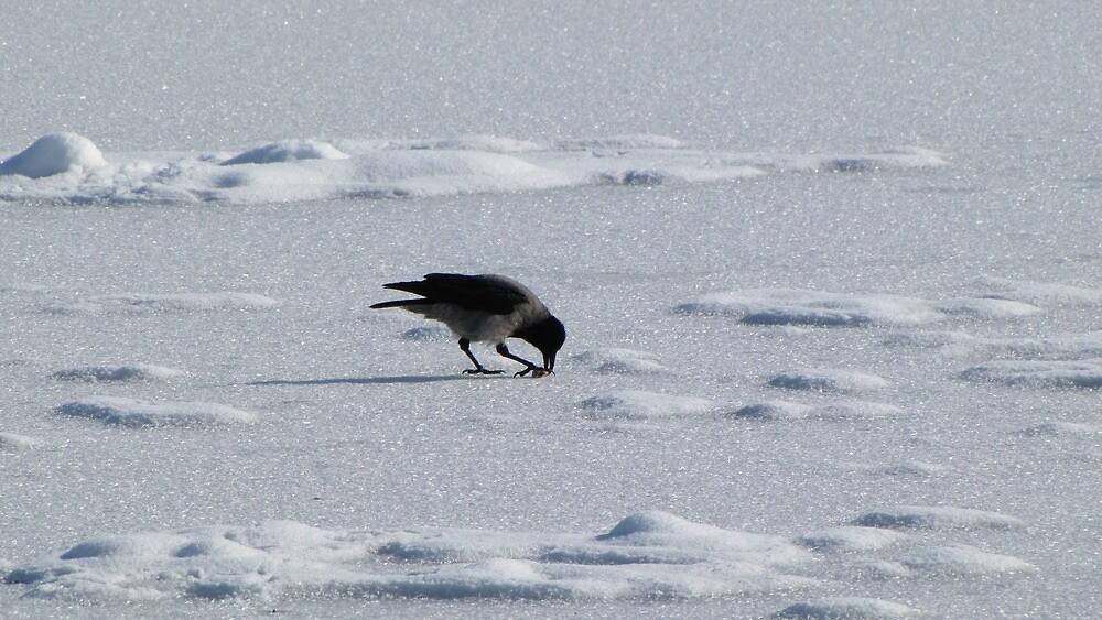 Crow by branko stanic