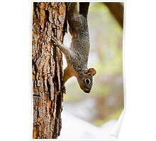 Arizona Grey Squirrel Poster