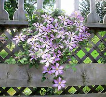 Purple Clematis Flower Vine Basking in Sunlight on a Wooden Garden Arbor by Chantal PhotoPix