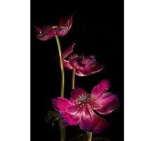 Three Purple Anemones Photographic Print