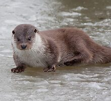 Otter on the ice by Gill Langridge