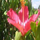 Hibiscus by Jeskyaa