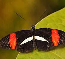 Crimson Patched Longwing Butterfly by Richard G Witham