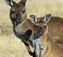 Kangaroo mother and child by jozi1