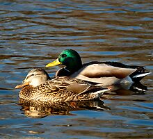 A Pair of Mallard Ducks by Thomas Young