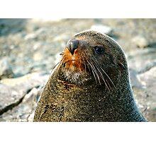 New Zealand Fur Seal Photographic Print