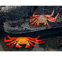 Sally Lightfoot Crabs Photographic Print