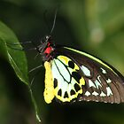 Butterfly in Cairns by Bami
